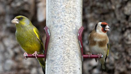 Greenfinch and goldfinch on feeder. Photo: Paul Newton/BTO