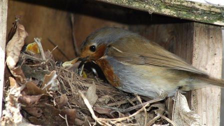A Robin using a nest box that has been put up. Picture: David Waistell/BTO/PA