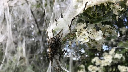 Caterpillars have been changing the face of Norfolk's hedgerows. Picture: Stephen Valach
