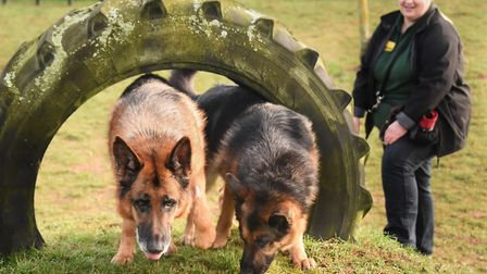 Kennel mates Allie, right, and Diesel, German Shepherd dogs in the exercise paddock with canine care