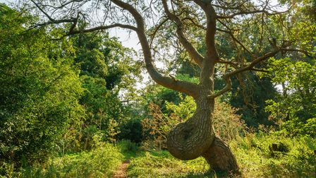 The 'Twisted Tree' in a small area of woodland south of Thetford, is one of ten trees that have been
