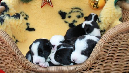 Six puppies born at the Dogs Trust in Snetterton