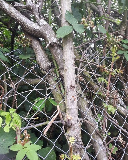 The Thetford community say they have spent years battling against a giant bramble bush, in an alleyw