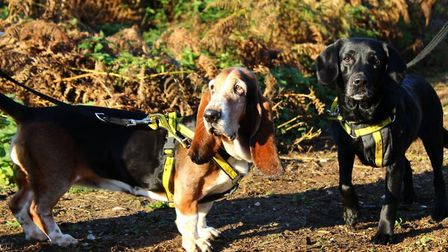 Scribbles the Bloodhound and Sky the Labrador cross are looking for their forever home at Dogs Trust