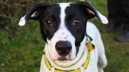 Davitt is looking for a new home. Picture: Dogs Trust Snetterton