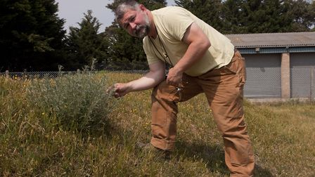 Breckland Floral Group member Tim Pankhurst looking at field wormwood at its native site in Brandon.