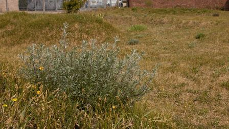 Field wormwood in its native site in, Brandon; Suffolk. Breckland area. Picture: Bob Gibbons