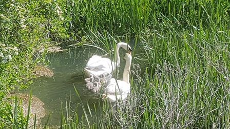 A family of swans on the river at Knettishall Heath. Members of the public has to remove waste dumpe