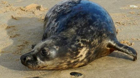 Blitzen was adopted by Mundesley Coastwatch crew after being found underweight and dehydrated at the