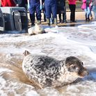 World's first recorded wild-born twin grey seals released back into the North Sea at Horsey Gap. A t