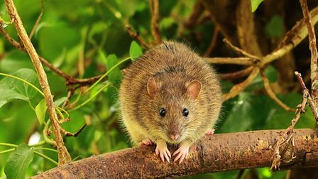 Rats are threatening breeding birds at Blakeney.