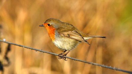 Lovely little robin at Cley marsh. Photo: David Thacker