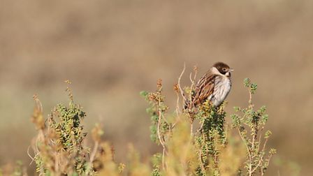 Cold but sunny morning at Blakeney. The reed bunting was warming up in the sun and no doubt getting