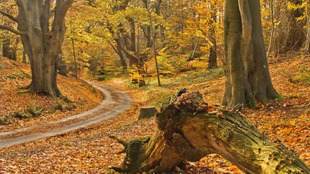 Changing colours in Felbrigg Woods. Picture by David Harper