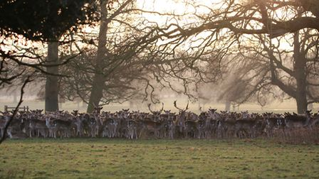 A large herd of deer at Holkham park lustered together as the sun was starting to rise. Photo: Marti