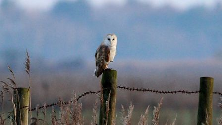 Spotted this lovely Barn Owl in Waxham. Picture: Anne Marks