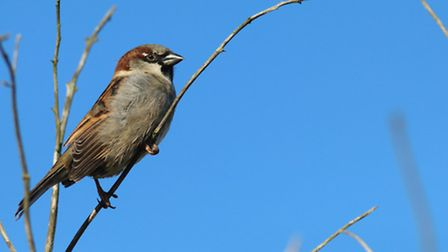 A house sparrow enjoying the sun after a patch of really cold weather. Photo: Robina Churchyard