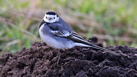 Lovley little bird in Waxham that was quite happy to pose for me. Photo: Anne Marks