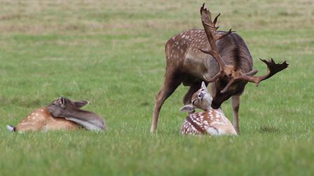 This Stag at Holkham Hall was in a very tender, loving and caring mood. Photo: Peter Bash
