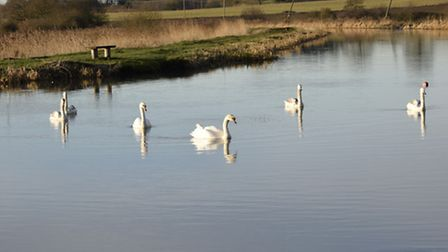 A beautiful swan famil at Ebridge Mill when I popped down. Photo: Susan Cockaday