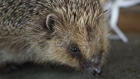 Holt Town Council is supporting Hedgehog Awareness. Picture: ARCHANT