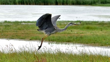 A-heron-in-flight-at-Cley-Mars