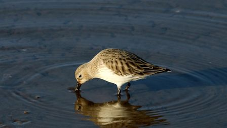 Morston Quay at low tide showing Dunlin feeding at the waters edge. Photo: Trevor Taberham