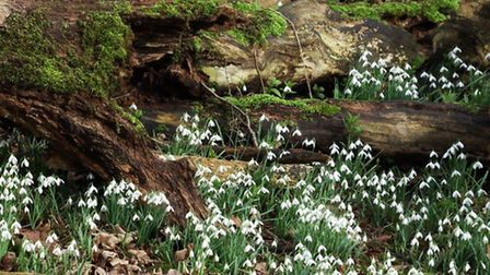 A-walk-in-the-Snowdrops-at-Wal