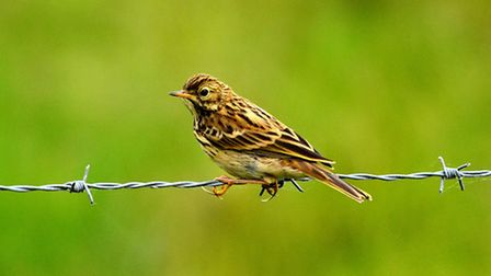 Meadow-pipit-on-Cley-marsh--Pi