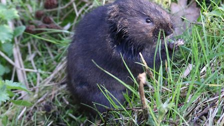 Lovely-wate-vole-at-Sculthorpe