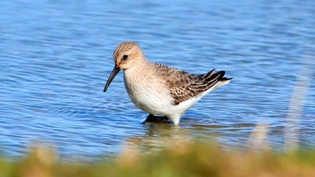 Dunlin-on-Cley-marsh--Picture-