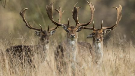 Stags-at-Holkham--Picture--Fra