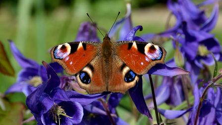 A-peacock-butterfly-on-aquileg