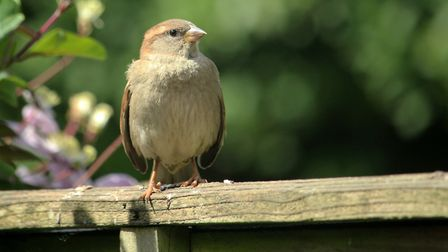 A House Sparrow in the garden. Picture: Peter Dent