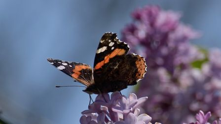 A Red Admiral enjoying the hawthorn and lilac blossom in the garden. Picture: Brian Hicks