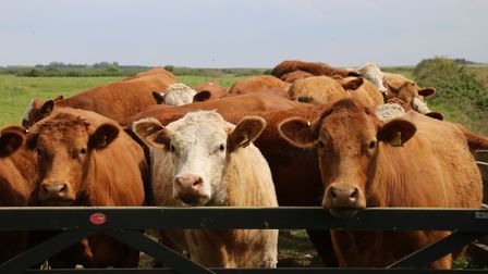 Cows down Lady Annes Drive at Holkham. Picture: Martin Sizeland