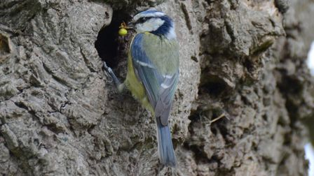 Blue Tits feeding their young. Picture: Hilary Tate