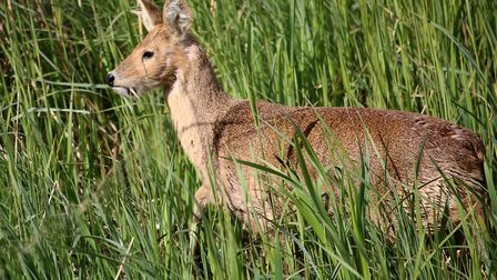 A-Chinese-water-deer--Picture-