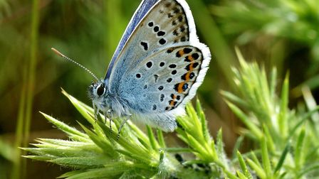 A silver-studded blue butterfly on East Runton heath. PictureL Neil Marks