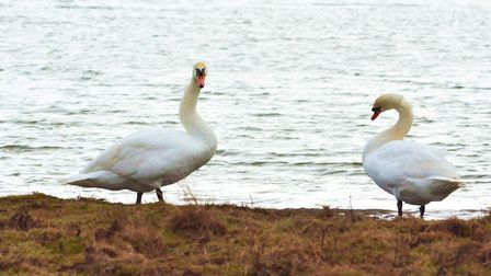 Swans at Cley Marsh. Photo: David Thacker
