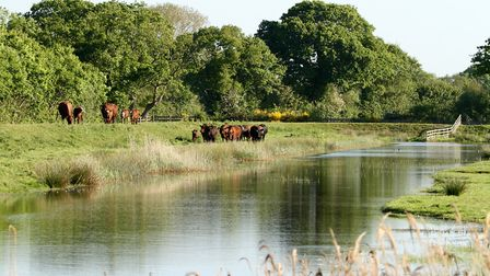 The cattle came out of the woods and made their way along the bank beside the still water at Norfolk