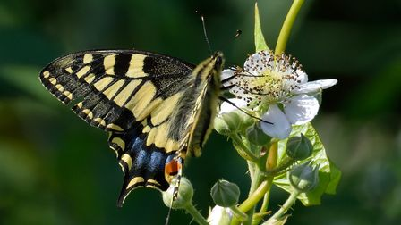 Swallowtail butterfly at Hickling Broad. Picture: Brian Hicks