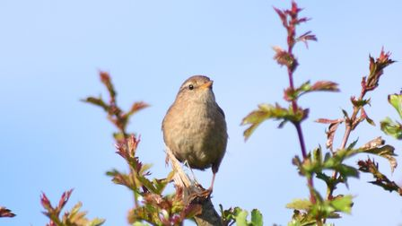 This little wren was singing in the early morning sunshine at Overy Staithe. Picture: Stephanie Thom