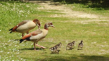 Egyptian geese family at Pensthorpe. Photo: Paul Reynolds