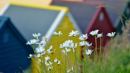 These lovely daisy's growing behind the colourful Mundesley beach huts! Picture: Nadine Gray