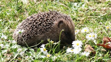 Spotted this Hedgehog out for a stroll at Pensthorpe Nature Reserve. Picture: Richard Brunton
