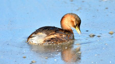 Dabchick or little grebe on Cley marsh. Picture: David Thacker