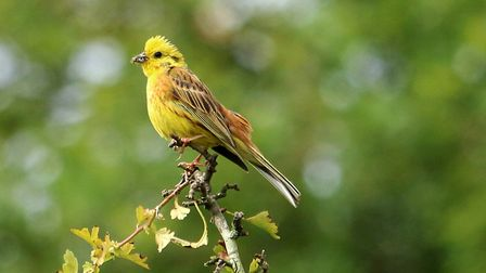 Male yellowhammer at Cawston heath. Picture: Peter Dent