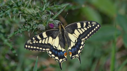 Beautiful swallowtail butterfly at Hickling Broad. Picture: John Assheton