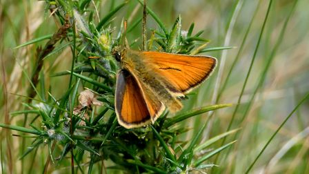 Small skipper taken at East Ruston. Picture: Brian Hicks